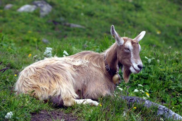 Goat breeds | IGN - Internationale Gesellschaft für